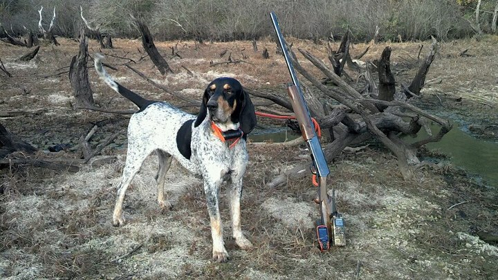 The Bluetick Hound Why We Love Them